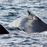 dos-baleines à bosse