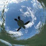 bébé tortue avec le voilier d'exploration Antsiva