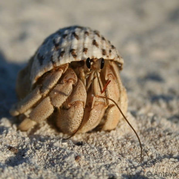 Lire : Records of the hermit crab genus Pagurixus Melin, 1939 from Europa Island, western Indian Ocean, with descriptions of two new species