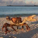 Crabe à Madagascar avec le voilier Antsiva mission scientifique