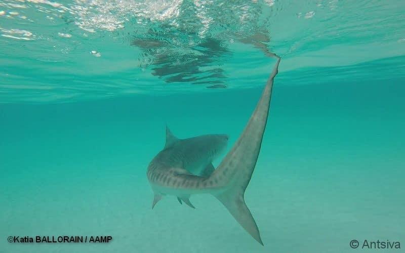 requins madagascar