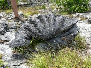 Bénitier géant de l'île d'Aldabra